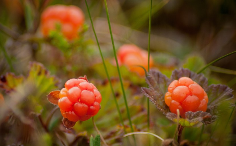 cloudberry-bush-produces-2130046_1920