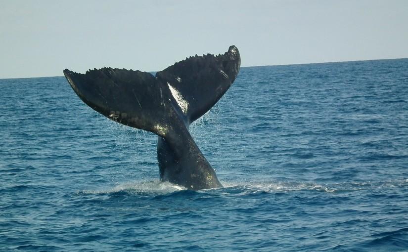 humpback-tail-73489_1280
